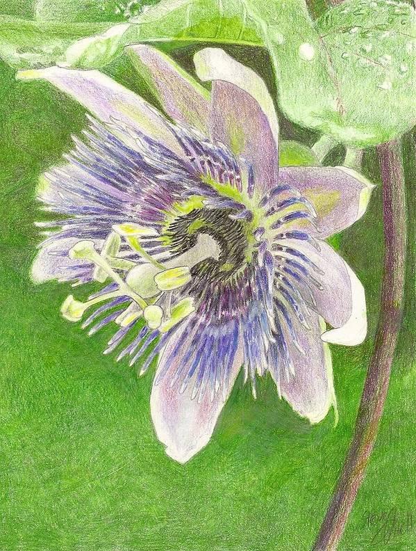 Passiflora Art Print featuring the drawing Passiflora Alatocaerulea by Steve Asbell