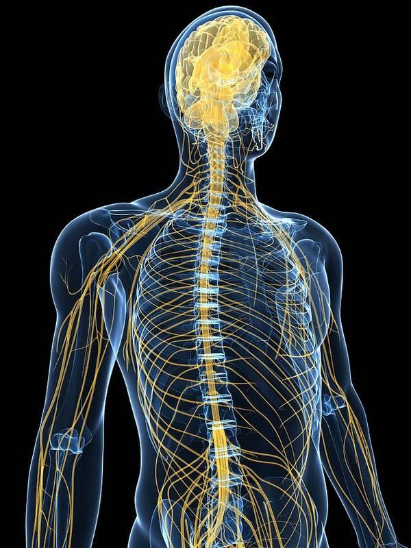 Human Nervous System Artwork Art Print By Sciepro