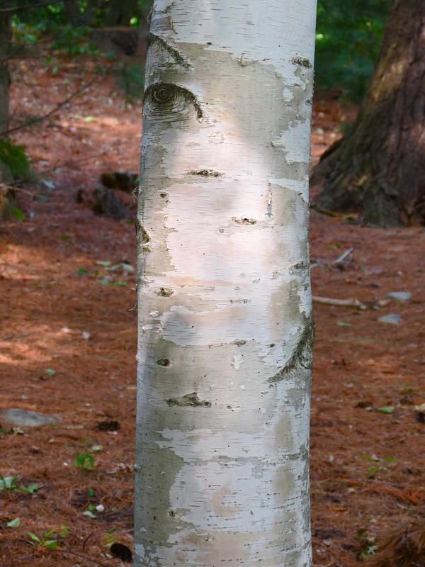 Birch Tree Art Print featuring the photograph Berkana by Azthet Photography