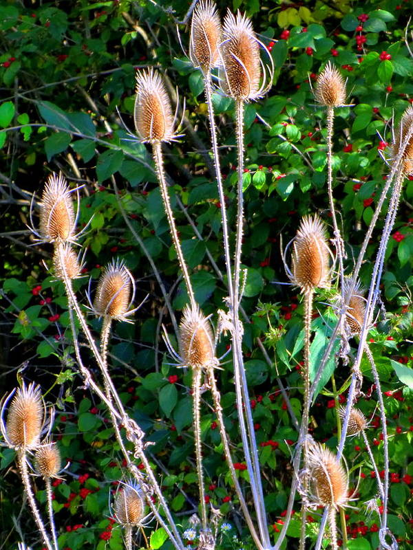 Thistles Art Print featuring the photograph Bittersweet And Thistles by Mindy Newman