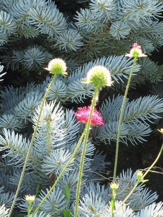 Flowers Contrast Against Blue Spruce Tree Taken In Fort Collins Art Print featuring the photograph Blue Spruce And A Wish by Shawn Hughes
