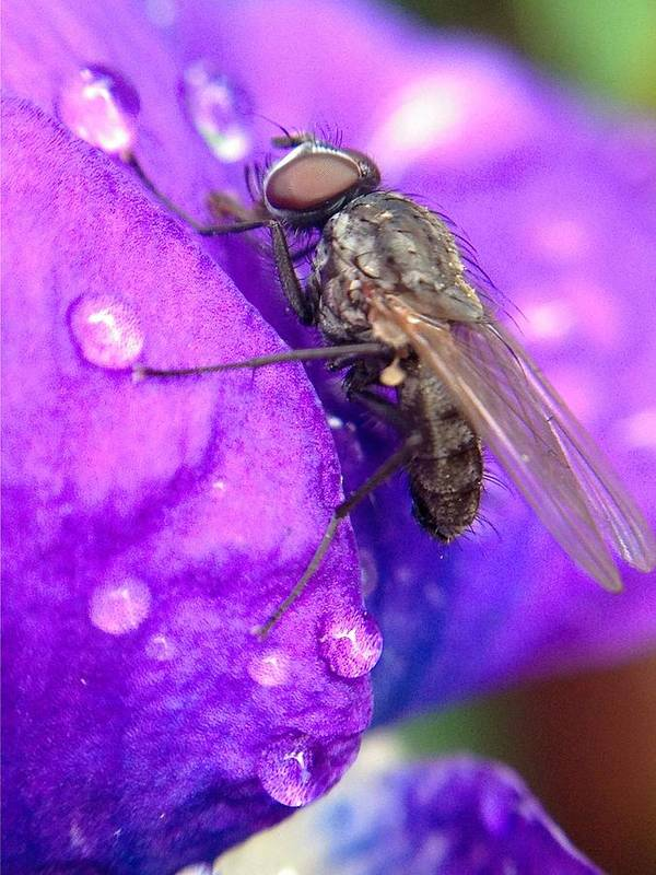 Fly Art Print featuring the photograph Fly In The Rain by Danielle Cirillo
