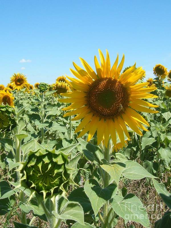 Flower Art Print featuring the photograph Happiness Is A Sunflower by Amanda Robbemond