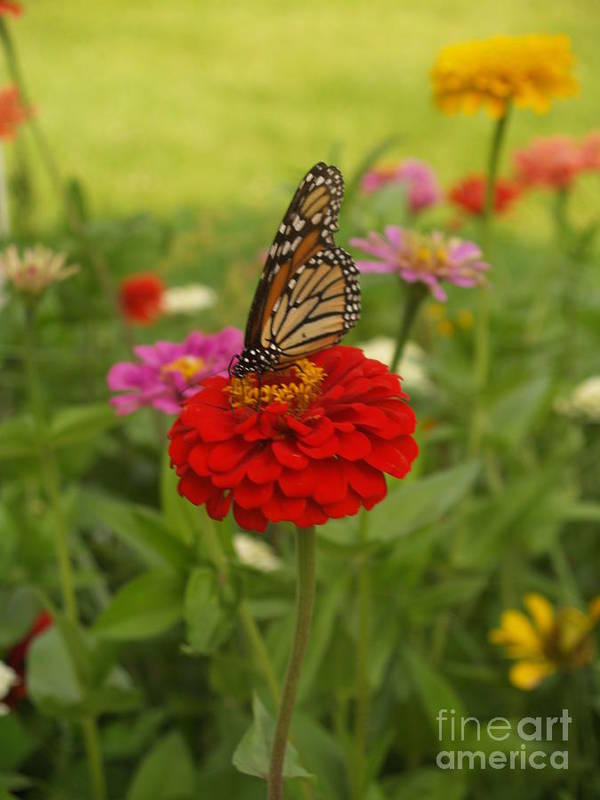 Art Print featuring the digital art Monarch And Red Zinnia 2009 by Denise Dempsey Kane