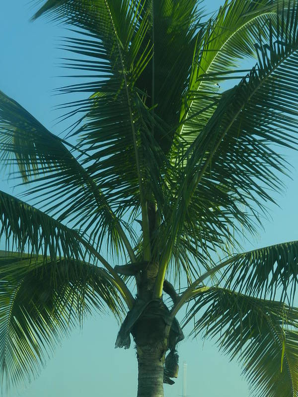 Palm Tree Art Print featuring the photograph Panama Palm by Genevieve Keillor