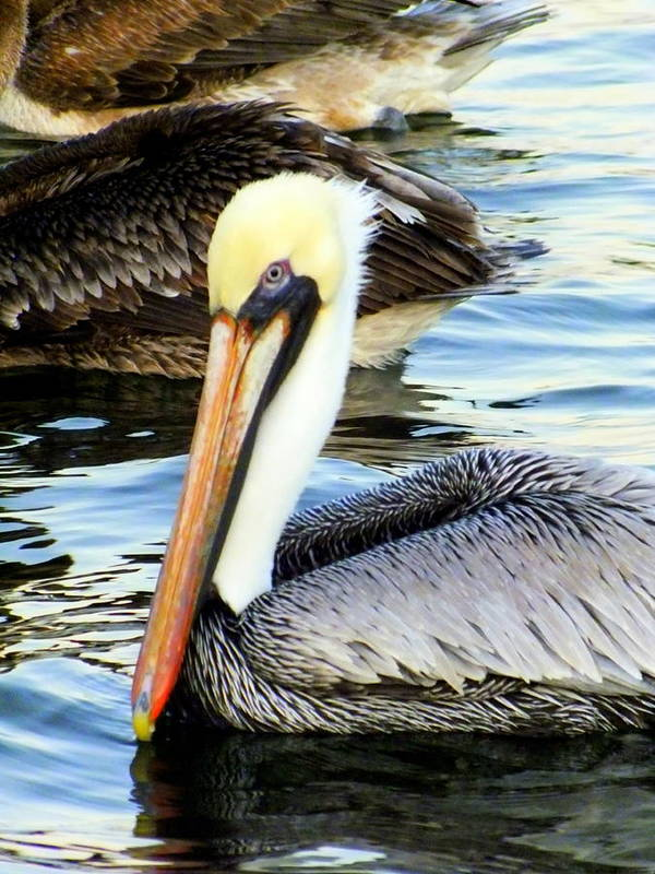 Birds Art Print featuring the photograph Pelican Pete by Karen Wiles