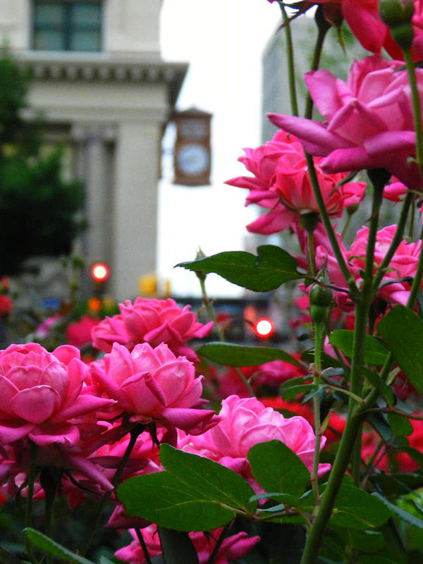 Pink Roses Art Print featuring the photograph Pink Roses In The City by Mamie Thornbrue