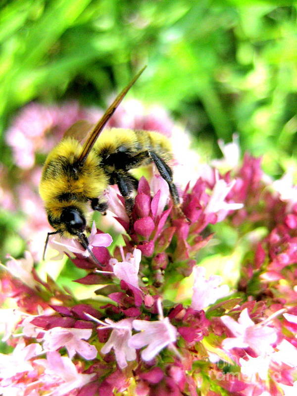 Bee Art Print featuring the photograph Pollenmeister by Kathy Bassett