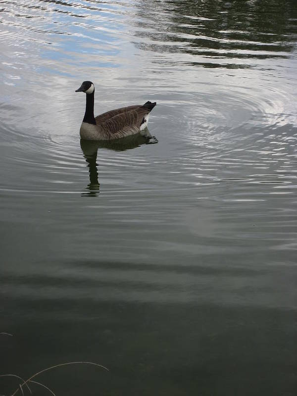 Goose Art Print featuring the photograph Solitary Goose by Guy Ricketts