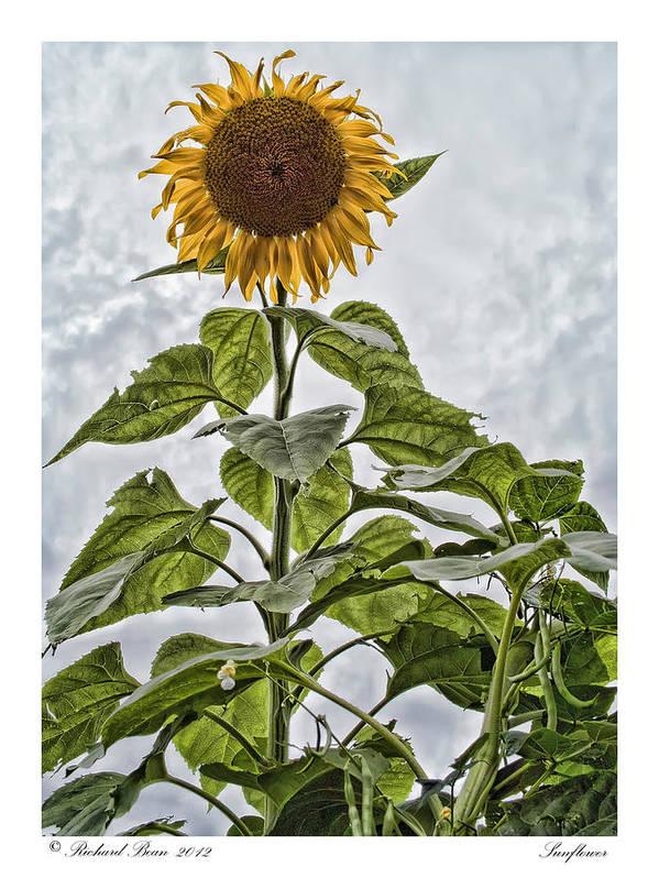 Botanical Art Print featuring the photograph Sunflower by Richard Bean
