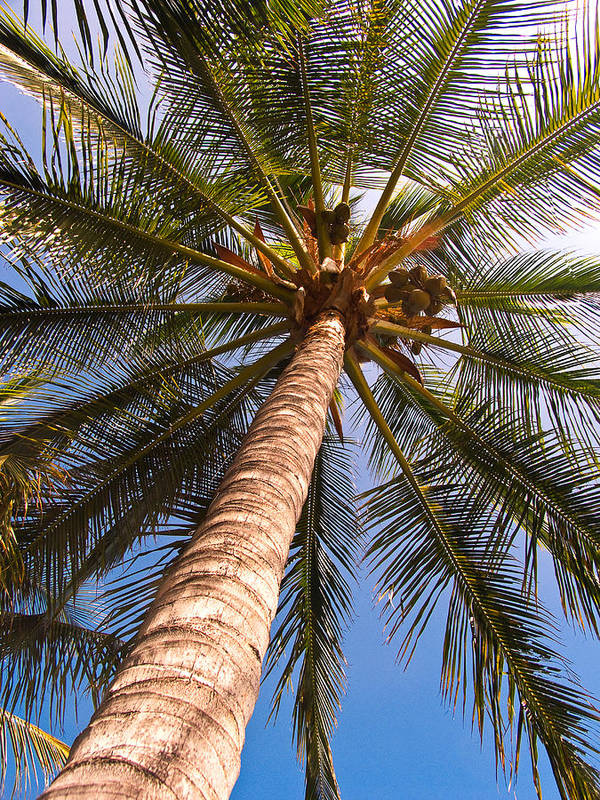 Palm Art Print featuring the photograph Towering Palm by Tony and Kristi Middleton