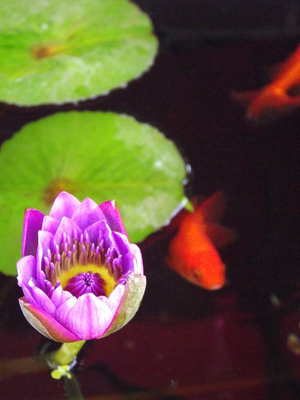 Water Lily Art Print featuring the photograph Water Life by Shawna Gibson