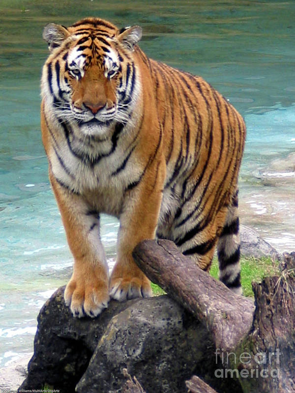 Bengal Tiger Art Print featuring the photograph Bengal Tiger by Digartz - Thom Williams