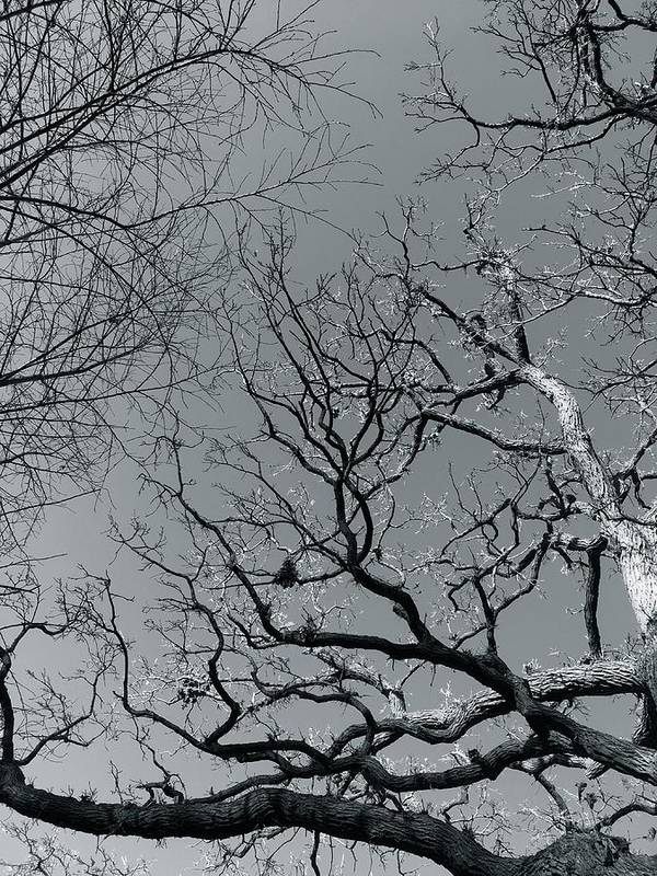 Trees Art Print featuring the photograph oak by Julian Grant