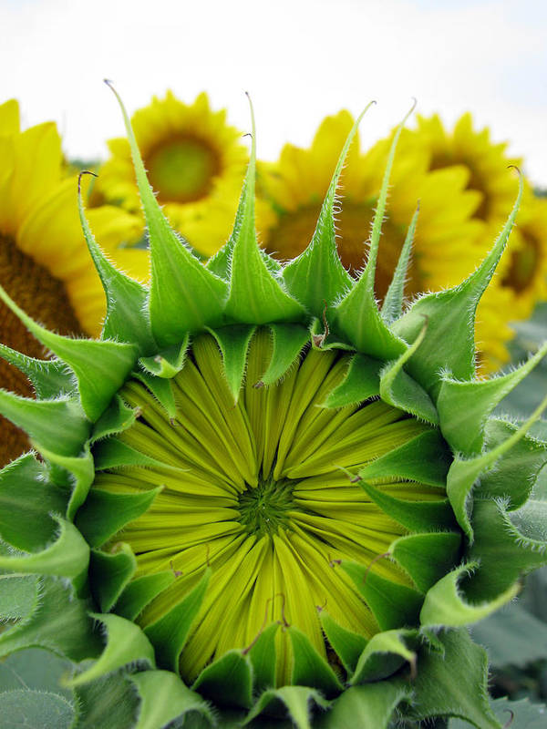 Sunflwoers Art Print featuring the photograph Sunflower Series by Amanda Barcon