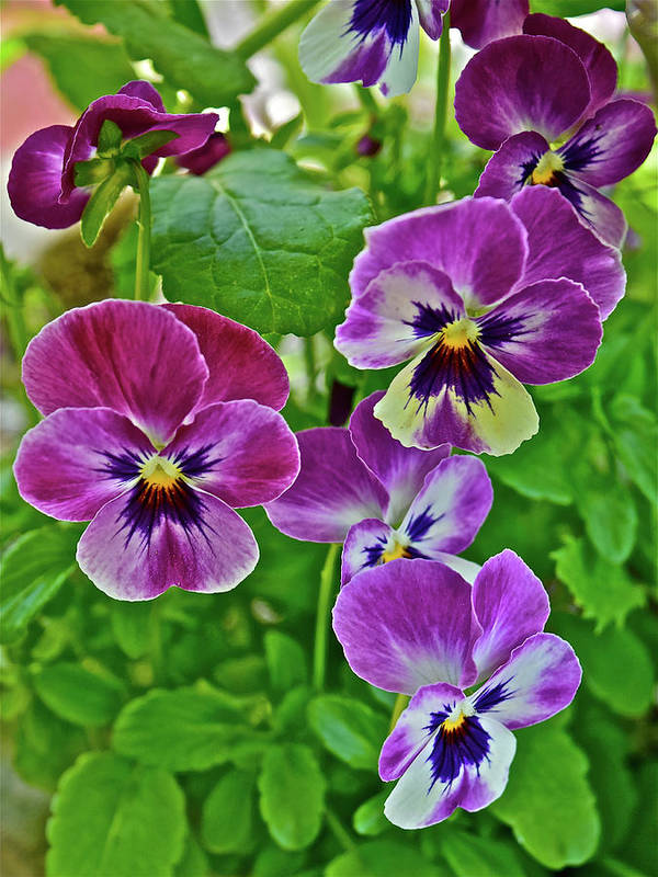 Pansies Art Print featuring the photograph 2016 Mid May Pansies 1 by Janis Nussbaum Senungetuk