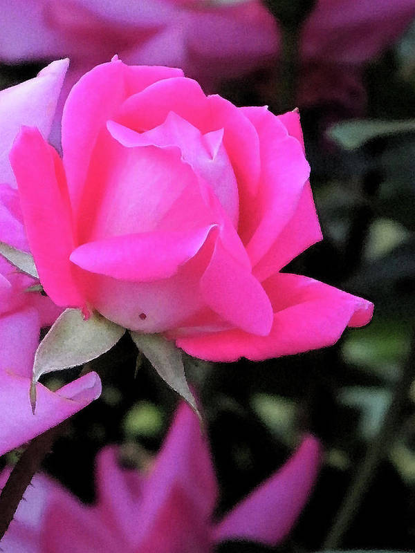 Flowers Art Print featuring the digital art Rosebud by Michele Caporaso