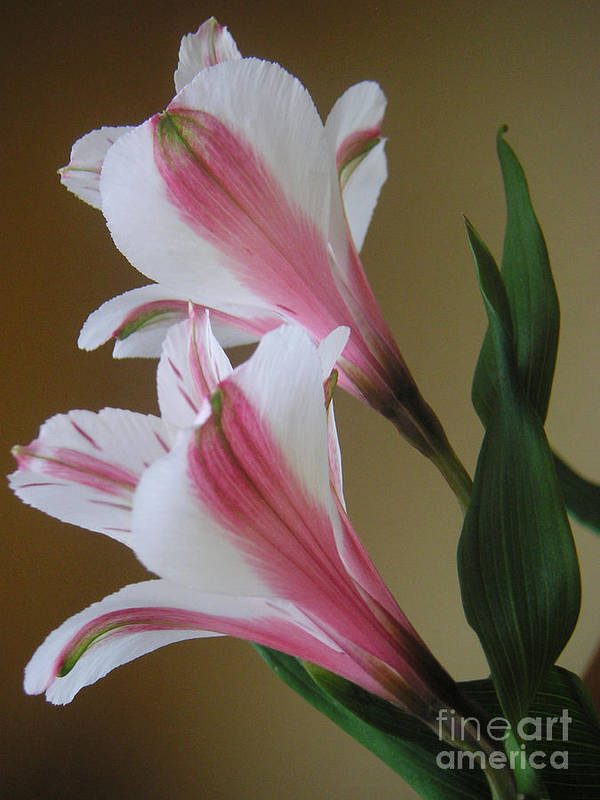 Nature Art Print featuring the photograph Alstroemerias - Doubled by Lucyna A M Green