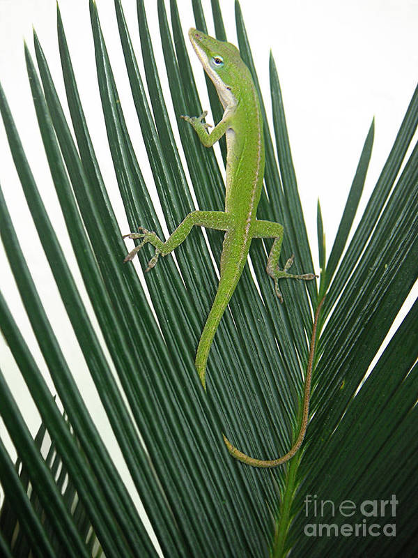 Nature Art Print featuring the photograph Anole With Palm - Cautious by Lucyna A M Green