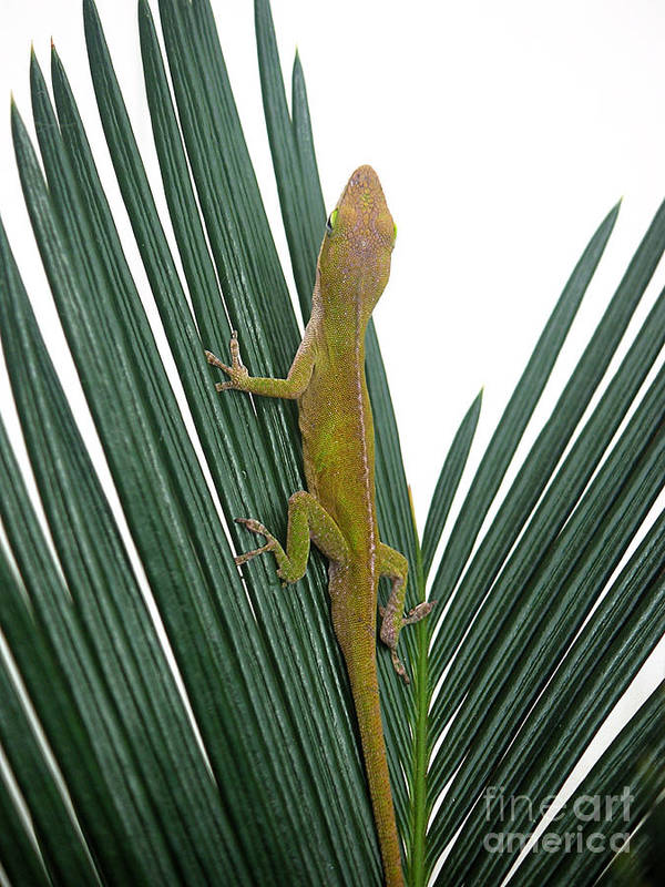 Nature Art Print featuring the photograph Anole With Palm - Curious by Lucyna A M Green