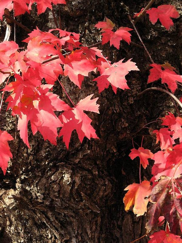 Red Art Print featuring the photograph Autumn Surprise by Carolyn Jacob