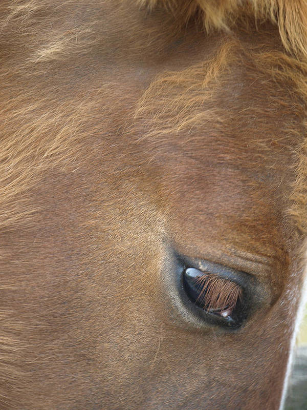 Chestnut Art Print featuring the photograph Baby Eye by Kim