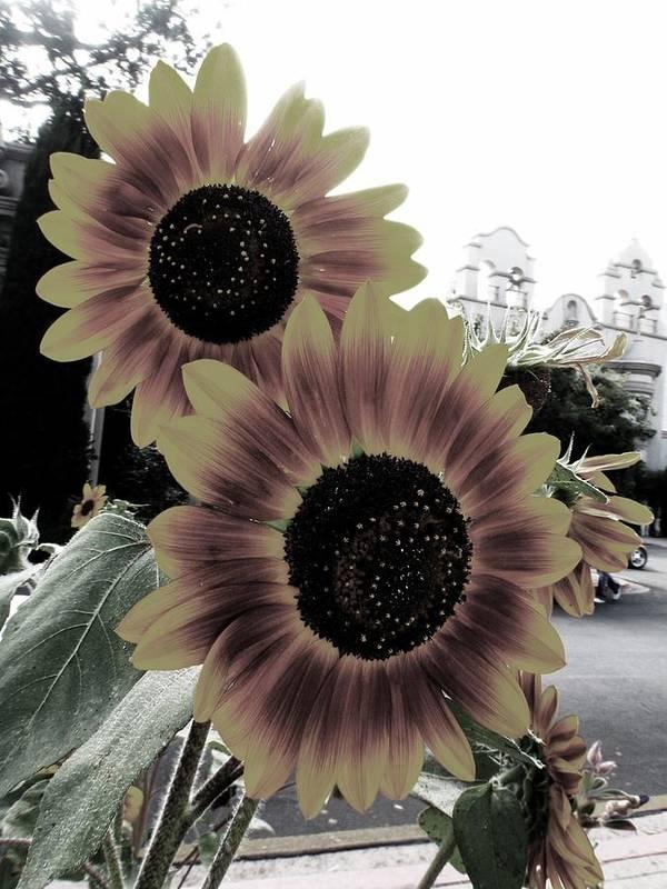 Sunflowers Art Print featuring the photograph Balboa Beauties by Alexa Humphreys
