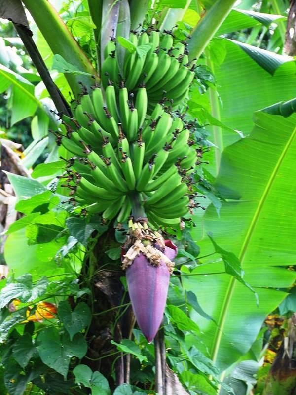 Banana Art Print featuring the photograph Banana Flower by Arry Murphey