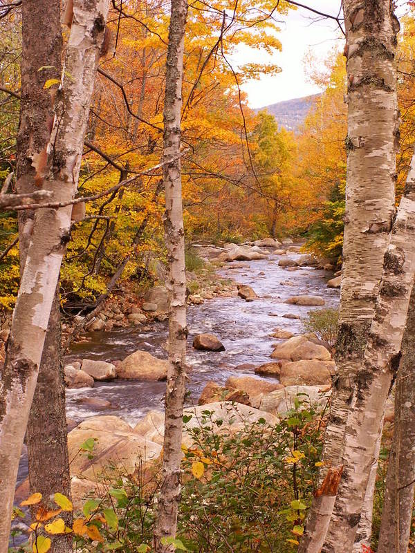 Landscape Art Print featuring the photograph Birches On The Kancamagus Highway by Nancy Griswold