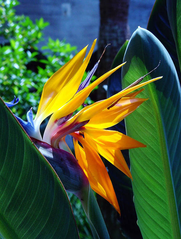 Flowers Art Print featuring the photograph Bird Of Paradise by Susanne Van Hulst