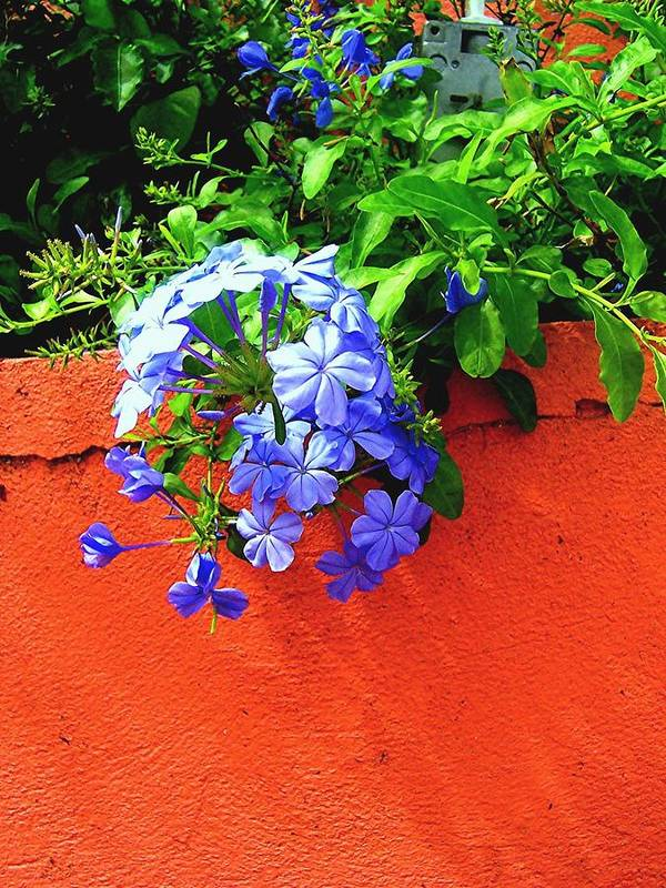 Flowers Art Print featuring the photograph Blue On Red by Caroline Urbania Naeem