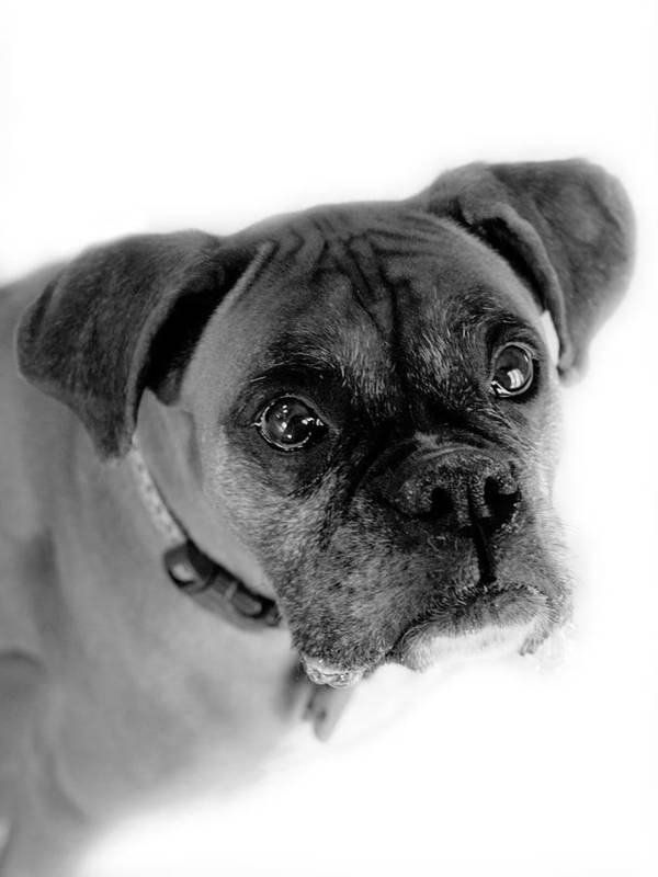 Boxer Art Print featuring the photograph Boxer Dog by Marilyn Hunt