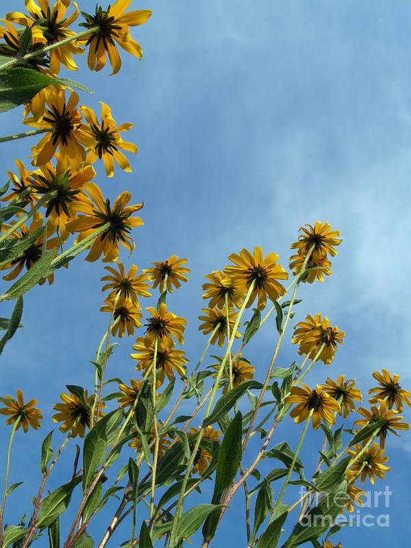 Wildflowers Art Print featuring the photograph Brown-eyed Susans From Below by Anna Lisa Yoder