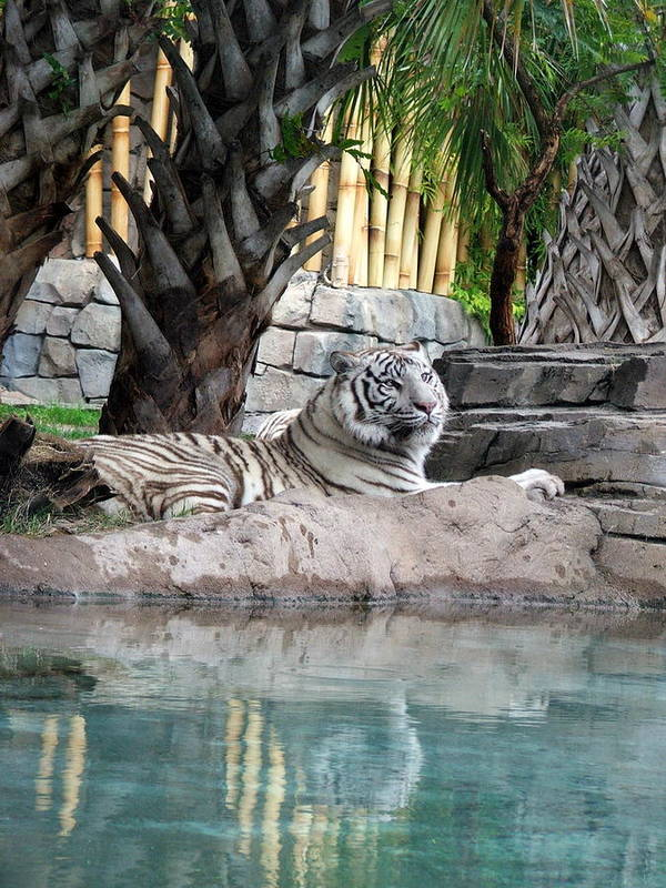 White Tiger Art Print featuring the photograph Busch Tiger by Wayne Skeen