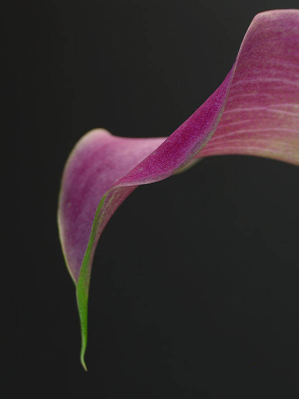 Flower Art Print featuring the photograph Calla Petal by Juergen Roth