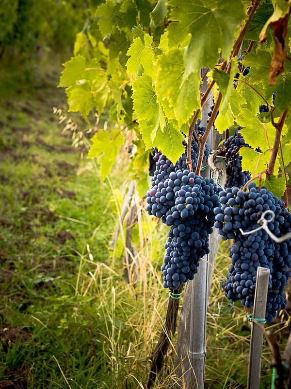 Grapes Art Print featuring the photograph Chianti Grapes by Jim DeLillo