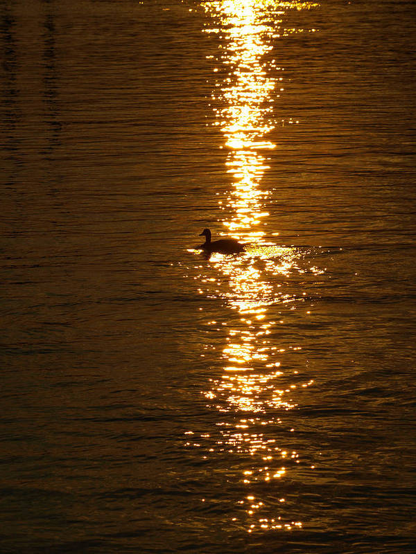 Duck Art Print featuring the photograph Chincoteague Bay Sunset by Kim