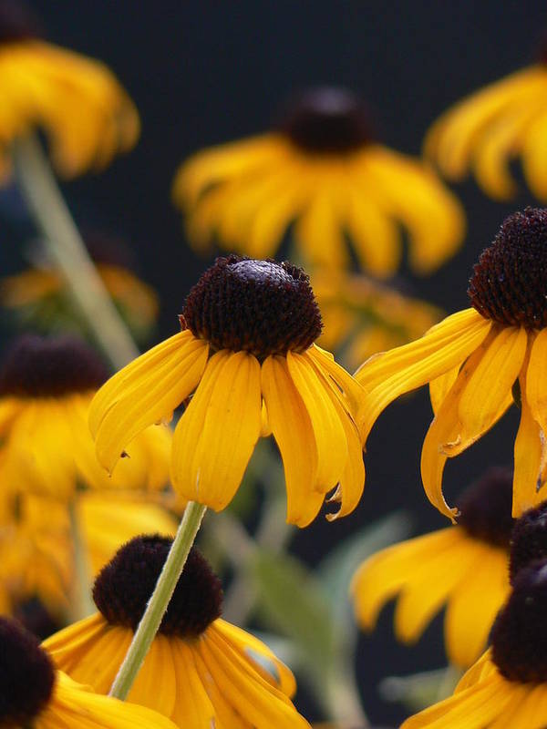 Yellow Art Print featuring the photograph Cone Flowers by Pamela Smith