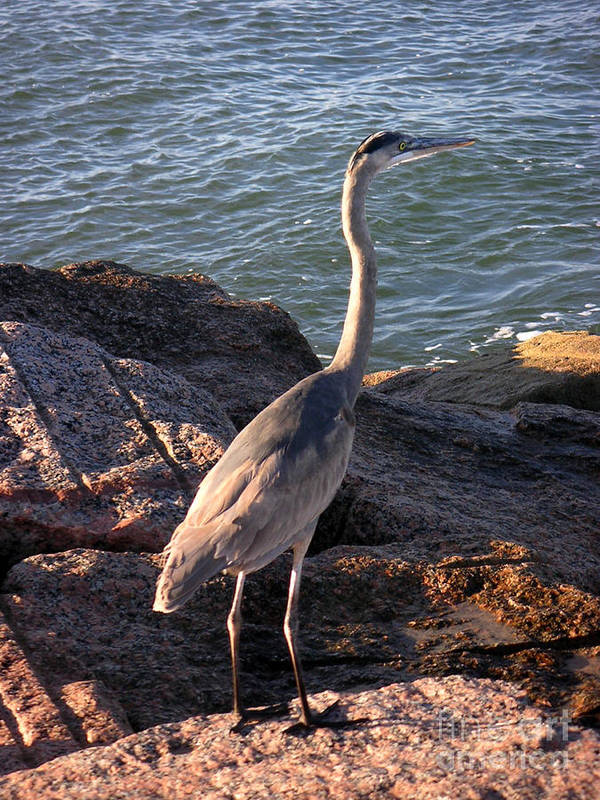Nature Art Print featuring the photograph Creatures Of The Gulf - Ever Watchful by Lucyna A M Green