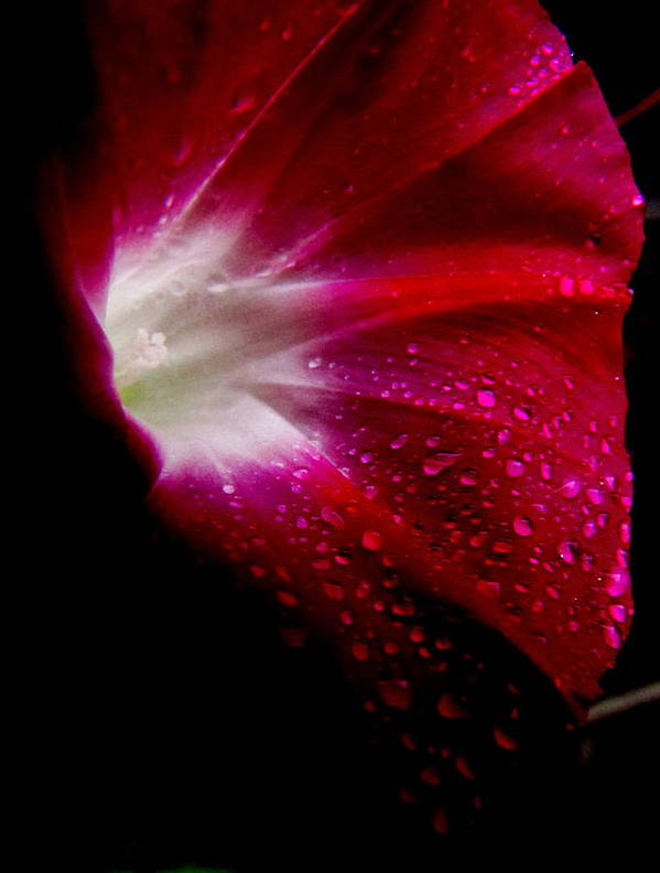Rain Drops Art Print featuring the photograph Crimson by Lisa Jayne Konopka
