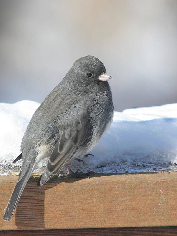 Bird Art Print featuring the photograph Dark Eyed Junco On The Railing by Laurie With