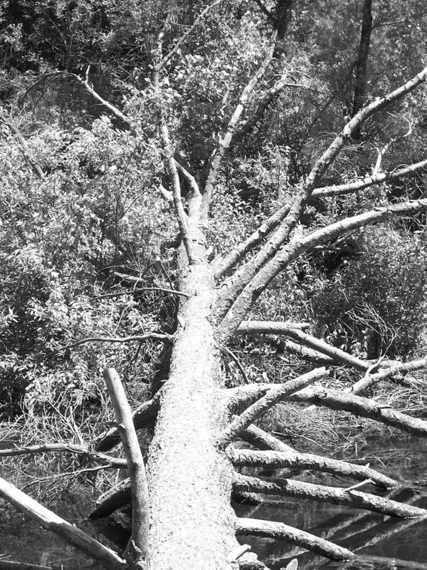 Black And White Art Print featuring the photograph Down Tree by Derek Clark