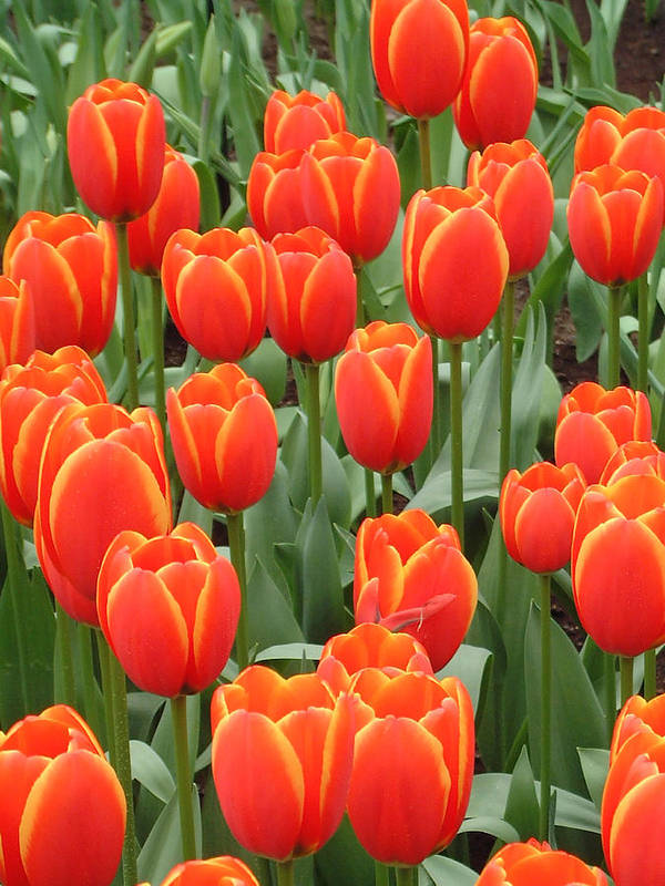 Netherlands Art Print featuring the photograph Dutch Tulips by Charles Ridgway