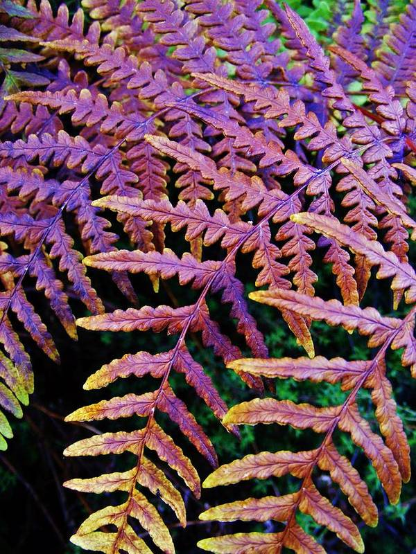Fern Art Print featuring the photograph Faded Ferns by CL Redding
