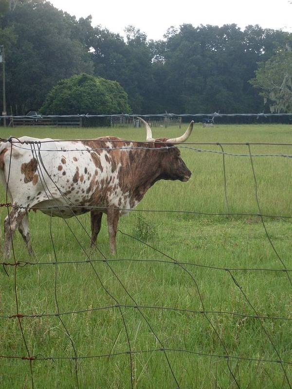 Longhorn.cow Art Print featuring the photograph Fence Protection Vrs Fl Longhorn by Warren Thompson