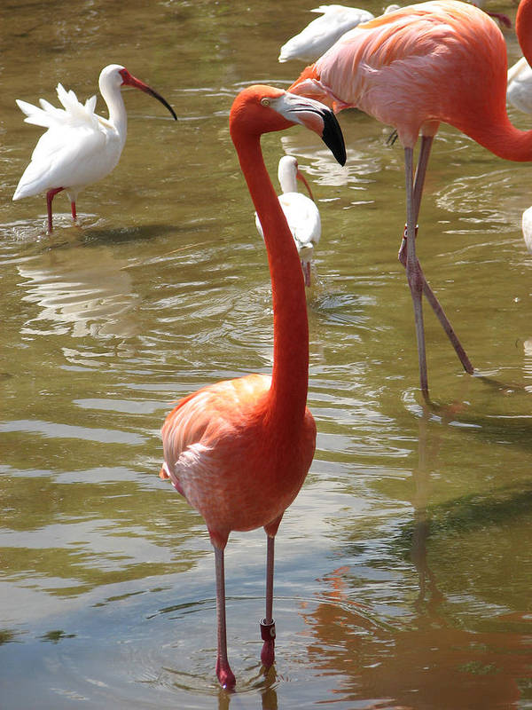Flamingo Art Print featuring the photograph Flamingo II by Stacey May