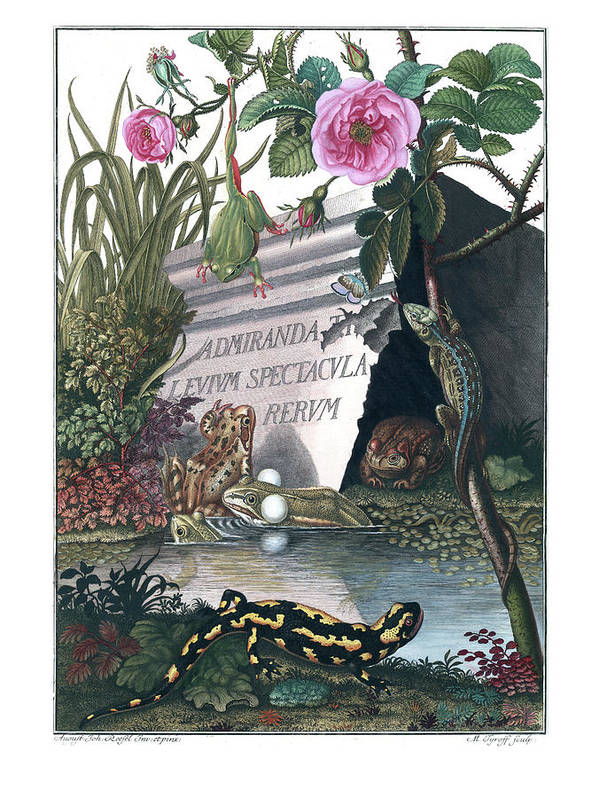 Frogs Art Print featuring the drawing Frontis Of Historia Naturalis Ranarum Nostratium by ArtistAugust Johann Roesel von Rosenhof