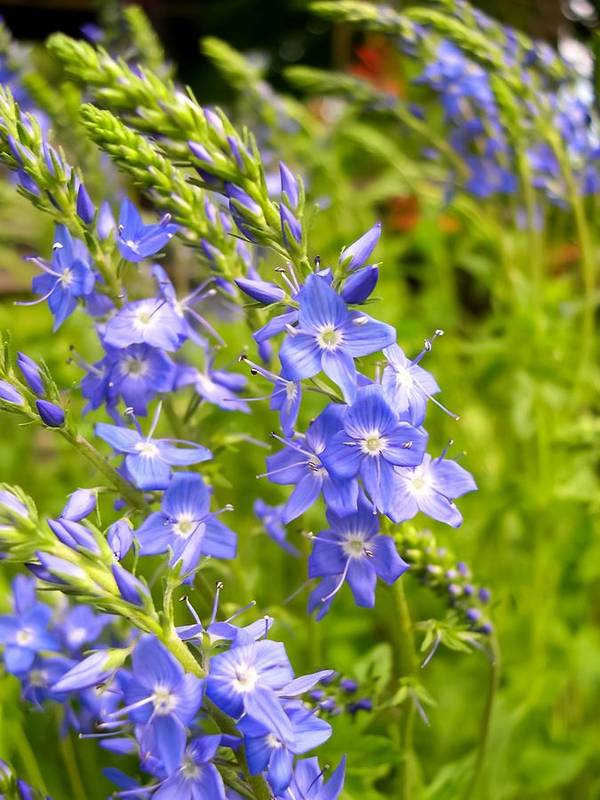 Germander Speedwell Art Print featuring the photograph Germander Speedwell by Cynthia Woods