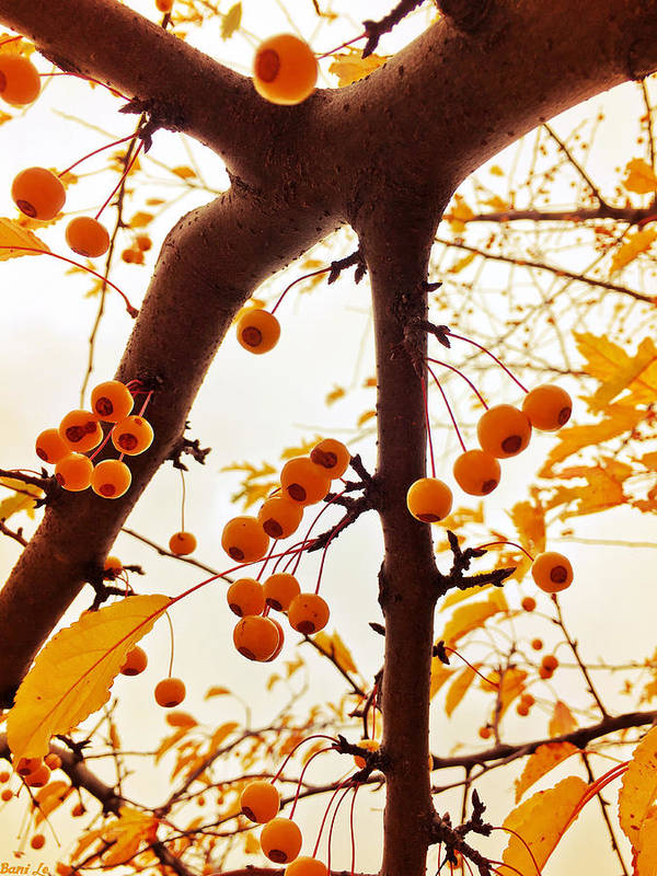 Crabapple Art Print featuring the photograph Golden Raindrops by Little Bunny Sunshine