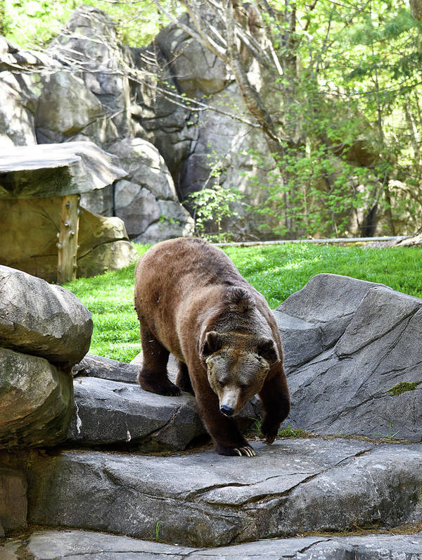 Grizzly Art Print featuring the photograph Grizzly by Sherri Johnson